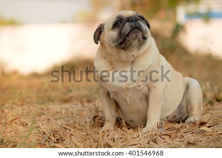 ( Funny face of pug dog.) Fawn pug dog on dry grass. - stock photo