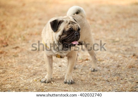 ( Funny face of pug dog.) Fawn pug dog on dry grass in autumn.