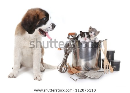 Funny Image of Saint Bernard Watching Kittens in a Cooking Pot - stock photo