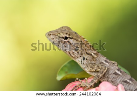 garden fence lizard / oriental garden lizard close ups on the t - stock photo