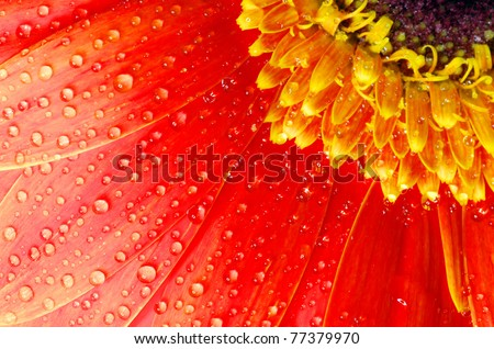 gerbera flower close up background - stock photo