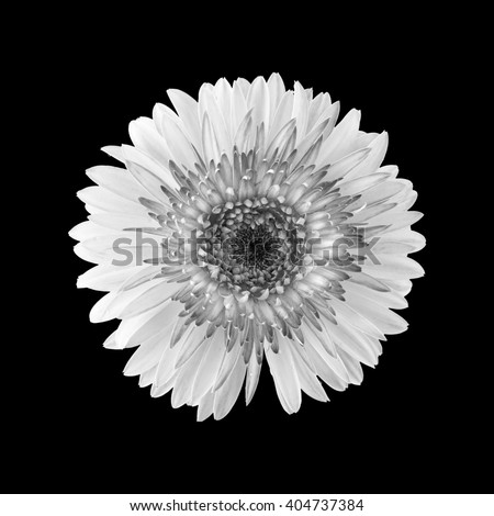 gerbera flower in black and white isolated on black background - stock photo