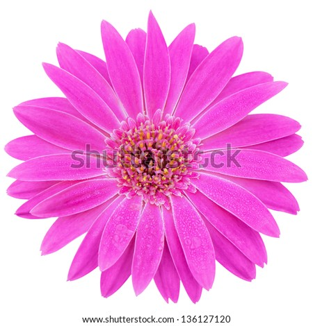 gerbera flower isolate on whtie background - stock photo