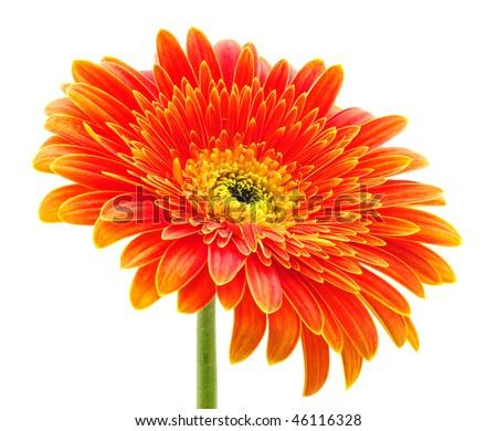 gerbera flower isolated on white - stock photo