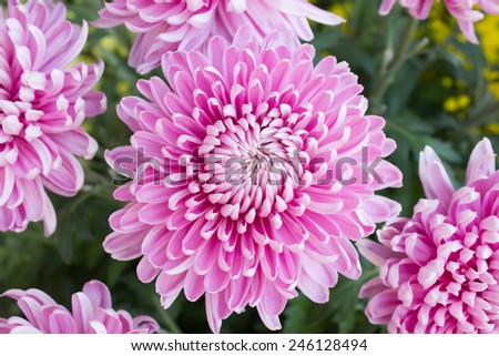 gerbera on beautifully arranged bouquet is delivered fresh to the spectator. - stock photo