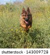 German shepherd dog run / jump with nature background. - stock photo
