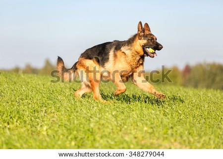 German shepherd dog running in summer meadow. - stock photo