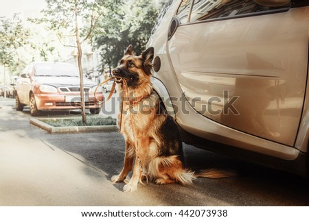 German shephered dog sitting near car with leash in her mouth. - stock photo