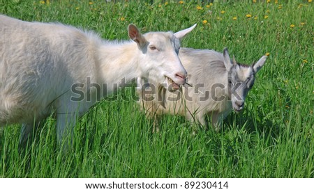 goat and kid  grazing in the meadow