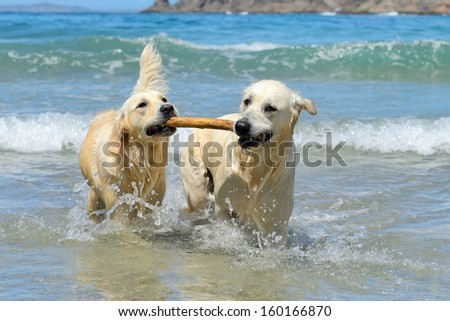 golden retriever dogs playing with stick in the water - stock photo