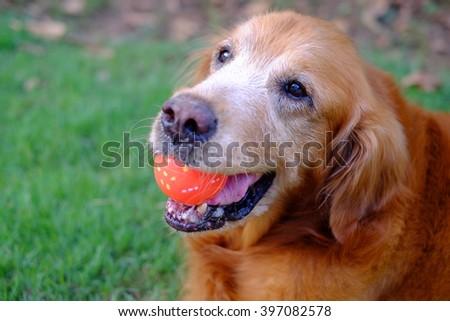 Golden retriever play ball - stock photo