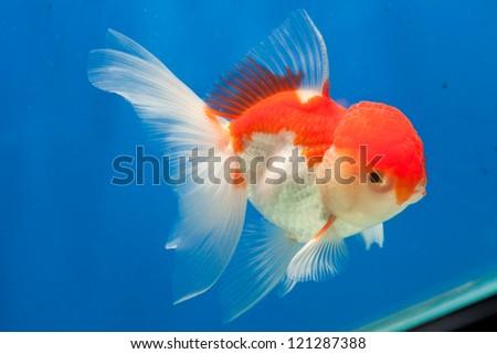 Goldfish isolated on blue screen - stock photo
