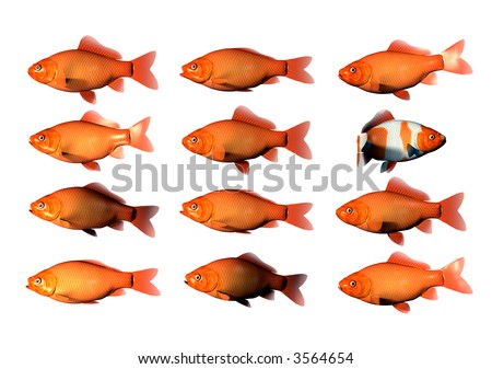 12 Goldfish with 1 goldfish with different markings swimming in other direction - stock photo