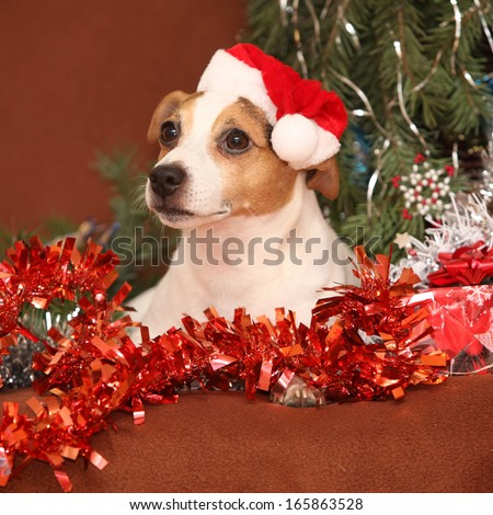 Gorgeous Jack russell terrier with santa hat in a christmas lying on brown blanket