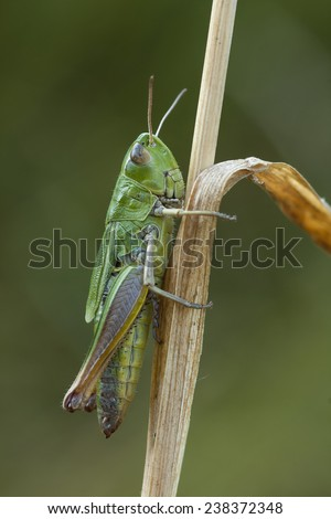 Grasshopper sitting on blade of grass