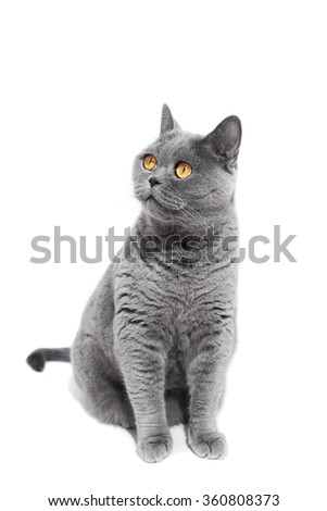Gray British cat isolated on a white background
