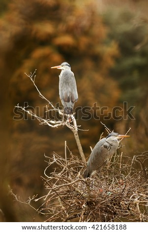 Gray heron sits on a very tall tree and watching its nest with other young herons. - stock photo