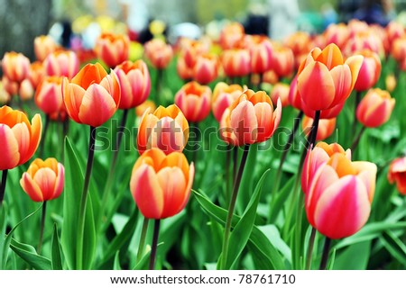 great amount of red  tulips.  tulips in  typical  landscape. - stock photo