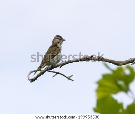 Great Crested Flycatcher ( Myiarchus crinitus)
