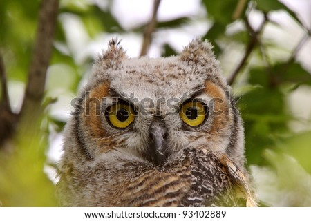 Great Horned Owl fledgling perched in tree - stock photo