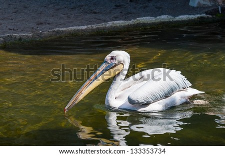 Great White Pelicans swimming on a lake - stock photo