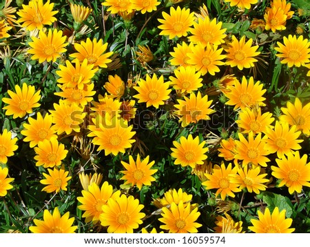 Greater flower bed the orange florets in the clear afternoon - stock photo