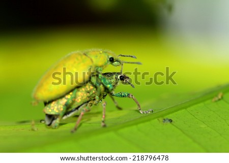 Green beetle mating