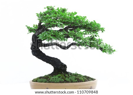 green bonsai tree Isolated on white background - stock photo