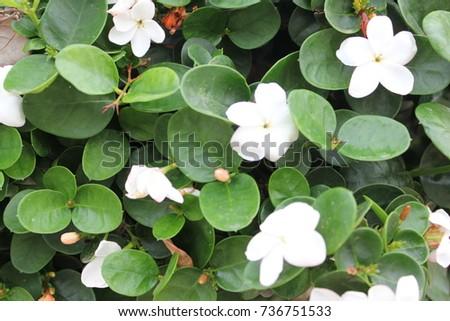 Green bush white flowers stock photo image royalty free green bush with white flowers mightylinksfo