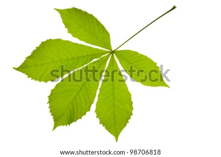 Green chestnut leaf isolated over white background - stock photo