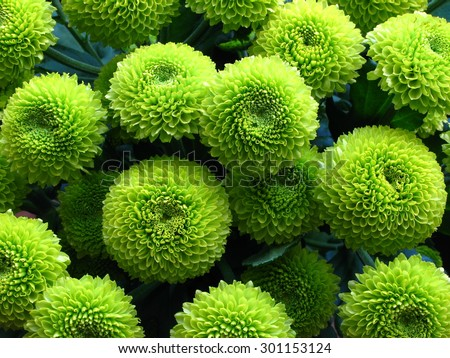 Green Chrysanthemums Macro. Bunch of flowers. Close-up, Bouquet. - stock photo