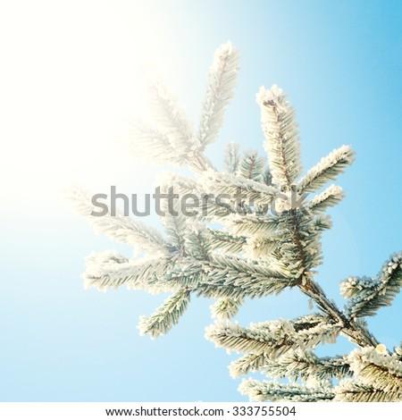 green fir branch in hoarfrost against sky                             - stock photo