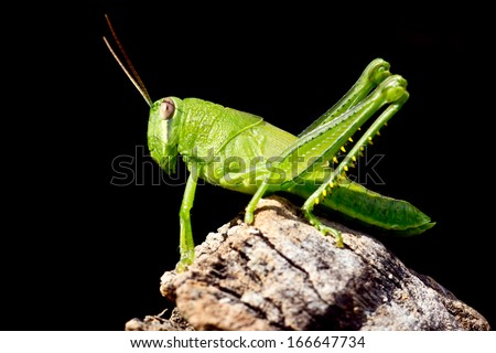 green grasshopper nymph - stock photo