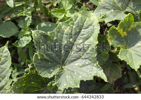 green leaves with dried  points cucumber in the summer. Photographed close up on a farm field