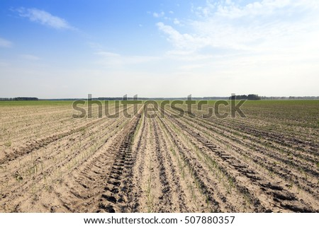 green onions sprouts in the agricultural field, blue sky