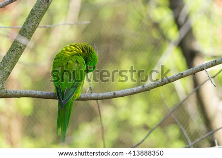 Green parrot sitting on a branch self cleaning his wing with blurred background.  - stock photo
