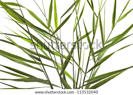 green reed cane grass Isolated on white background - stock photo