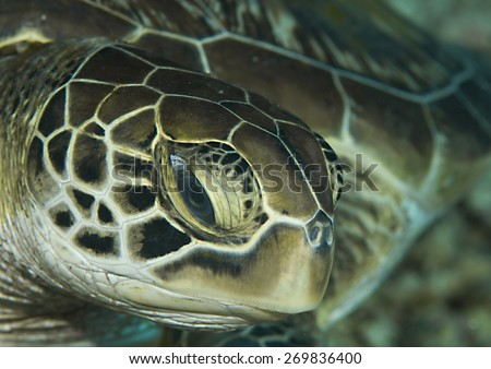 Green Sea Turtle, Chelonia mydas, Bunaken, Indonesia, Sulawesi,  - stock photo
