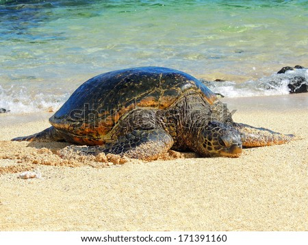 green sea turtle on poipu beach in kauai,  hawaii        - stock photo