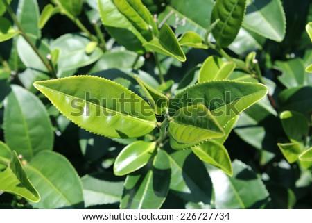 Green tea bud and leaves. Tea plantations  - stock photo