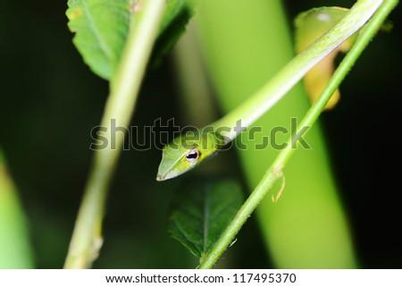Green Viper - stock photo