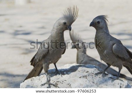 Grey Go-away-bird, Corythaixoides concolor