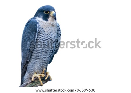 grey hawk, isolated on white background - stock photo