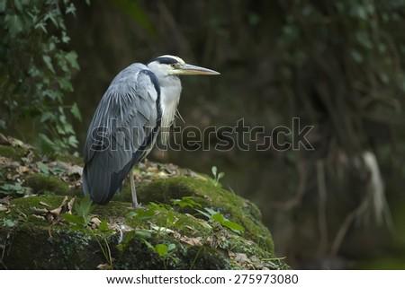 Grey Heron, ardea cinerea, standing on a rock by the riverside - stock photo