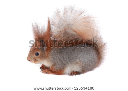 grey  squirrel, on a white background