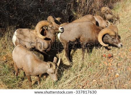 Group of  bighorn sheep  grazing in waterton canyon,  n Littleton, colorado   - stock photo