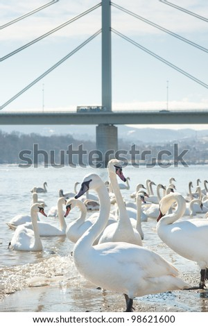 group of swans  on a cold river - stock photo