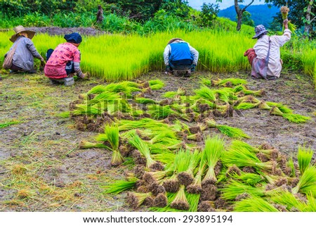 growing rice on the paddy rice farmland in Chiang Mai Thailand