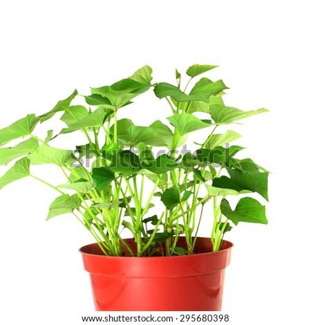 growing sweet  potato in pot on white background - stock photo