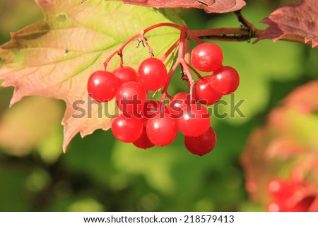 Guelder-rose (viburnum, snowball tree)